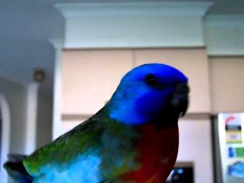 Most Beautiful Bird – Splendid Grass Parakeet – Scarlet Chested Parrot
