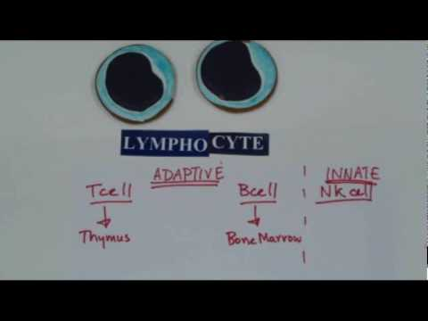 how to isolate lymphocytes from blood