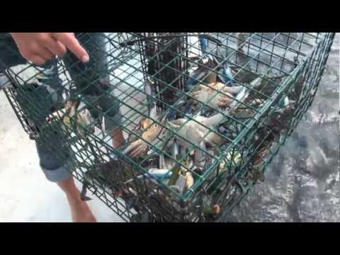 Crab - https://Robsreelbaits.com for all your crab trap and live bait needs! Rob & Sarah, from Respect Outdoors TV, Love catching and eating Blue Crabs. This video ...