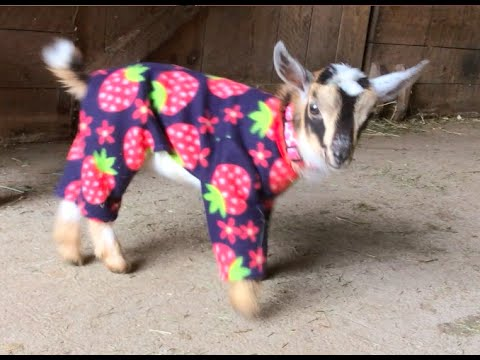 Goat Babies in Pajamas