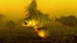 Fishing: Catching Perch With Dead + Soft Bait Underwater CameraРыбалка ловля окуня подводная съёмка