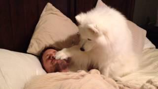 これはかわいい!早く散歩に行きたくて優しくパパを起こすサモエド犬