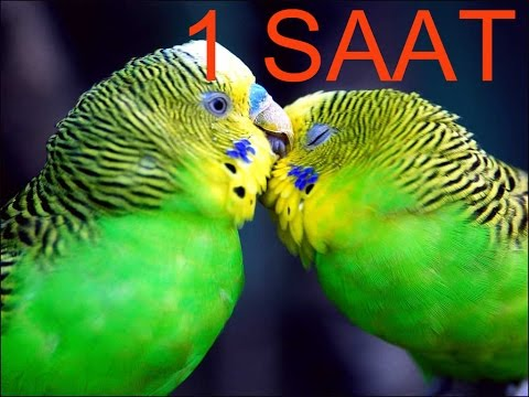 Video Papağan Ve Muhabbet Kuşu Konuşturma Sesi Ses Kaydı Cici Kuş 1 SAAT download in MP3, 3GP, MP4, WEBM, AVI, FLV January 2017