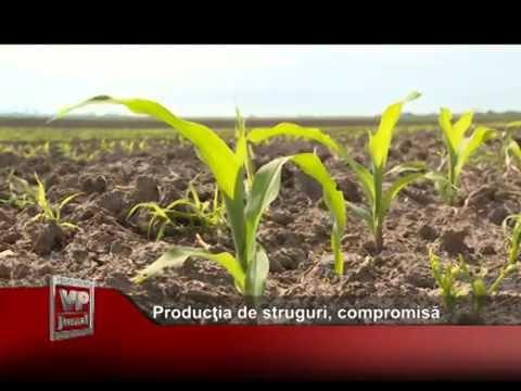 Producţia de struguri, compromisă