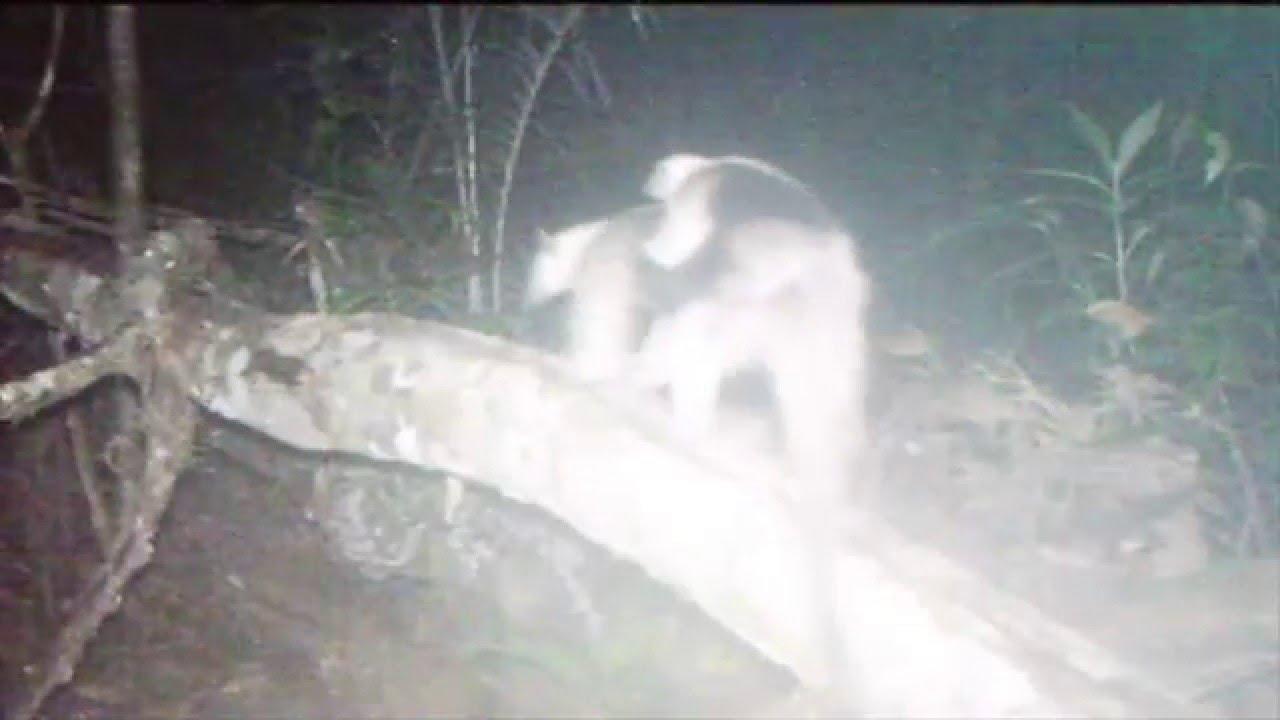 Tamandua on camera trap in Ocho Verde