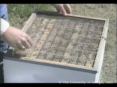 Honey Bees and Beekeeping 3.3: Our growing hives