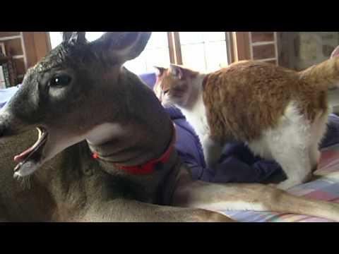 amicizia incredibile tra un cervo e un gatto che si coccolano sul divano