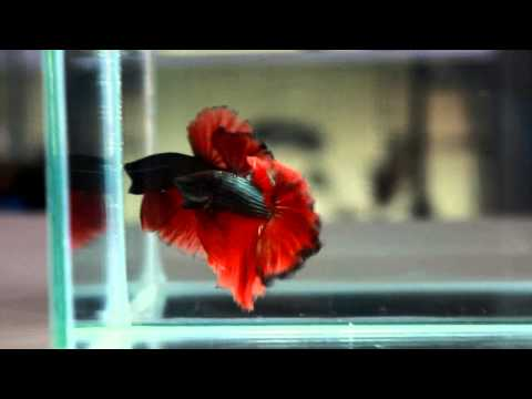 Betta Splendens : (0213-41) Copper Fire Halfmoon Singletail Male