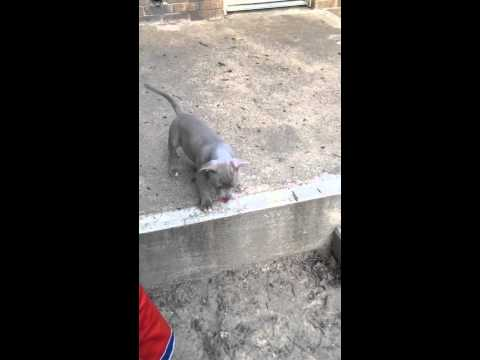 Adorable blue fawn pit bull puppy for sale
