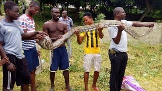 """A six foot python was overpowered by a brave man at the old Aplaku Muslim cemetery near Bortianor, Ghana. According to the man identified as Alhaji, they had come there on Sunday morning, July 17 to weed and clear out the Muslim cemetery when he detected movement at the far end leading to one of the walls. He rushed there and found the huge python stretched out and ready to engage him in a fight.    """"As we were weeding, I noticed some movement in the grass towards the far end of the cemetery so I quickly rushed there to see what it was. To my surprise I found a huge snake starring straight at me and it had the height of a six foot human being and was much taller than me. I grabbed him by the tail and it started twisting ferociously putting up a brave fight trying to overpower me but I still held on even though I realised I was running out of energy. I shouted out to my friends who were with me and one ran with a cutlass whiles I was still struggling to hold onto the huge snake. I instructed him to chop its head off which he did but even after that the python was still fighting to escape so we got more hands to come in and help and eventually managed to cut his head off completely."""""""