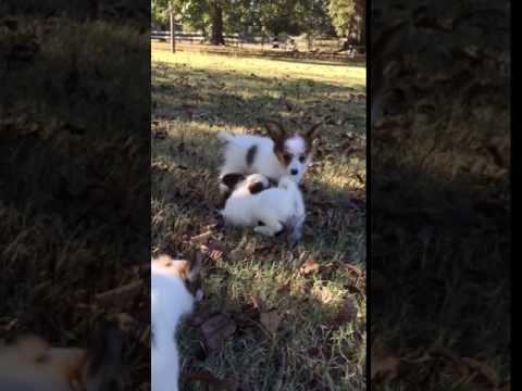 AKC Papillon male white and sable