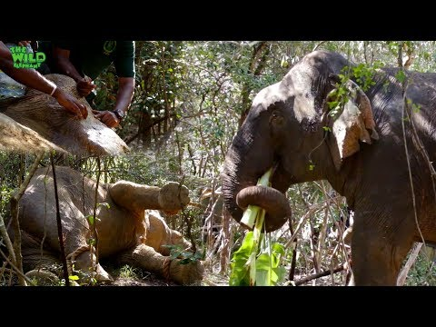 Huge Elephant Gets Treated And Injected By A Rescue Team (part 1)