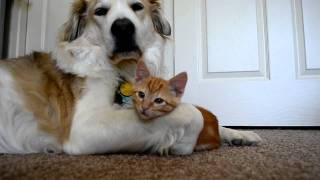 Cute kitten tries to steal dog's tongue (as seen on Ellen!!) - YouTube