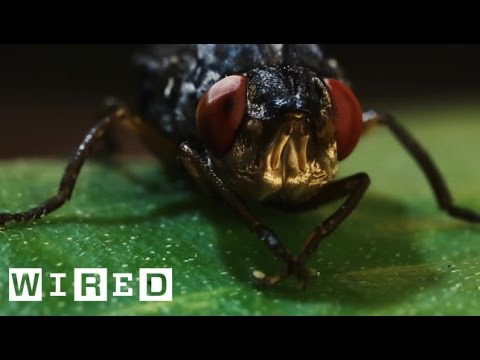 This Is a Botfly. Its Horrific Larvae Grow and Feed in Human Flesh | Absurd Creatures