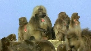 Download Video Gelada Baboon Sexual Tension | Battle of the Sexes in the Animal World | BBC Earth MP3 3GP MP4