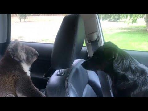 Australien: Koalabär verschanzt sich in einem Auto