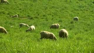 Sheep in Cambria County