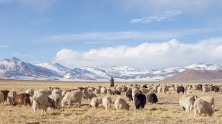 The story of the Changpa shepherds from the Rupshu region of Ladakh. I was lucky to be given a ride to Tsokar this winter and...