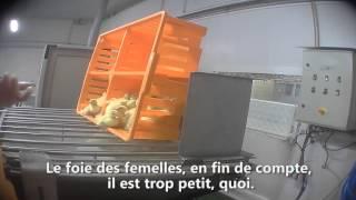 'Foie gras : dans l'enfer d'un couvoir', la vidéo choc publiée quelques jours avant Noël