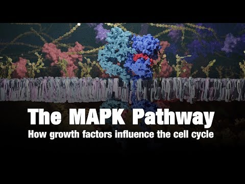 The Mapk Pathway – How Growth Factors Influence The Cell Cycle