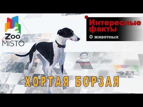 Хортая Борзая - Интересные факты о породе