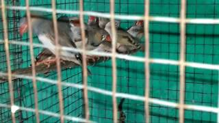 How to care zebra Finches ( 2nd video)