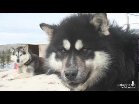 Ein Leitfaden für Erste Hilfe für Hunde in Nunavik