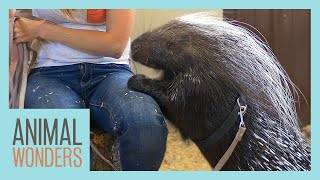 A Training Session With Kizmit the Porcupine by Animal Wonders