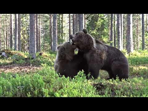 Битву двух бурых медведей удалось снять на видео финскому фотографу