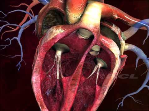 struttura del cuore in 3d: da guardare assolutamente!