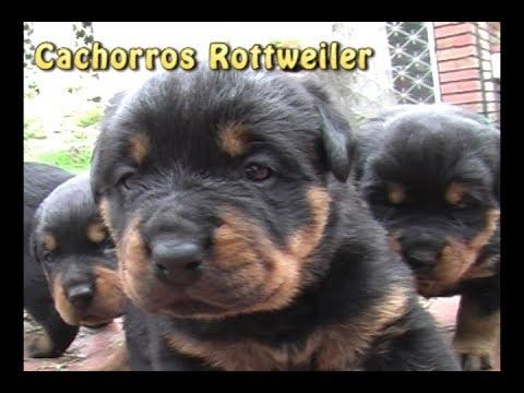 #CACHORROS ROTTWEILER - Parte 2 - Día 20 - Video de perritos - Toys Pets & kids jugando