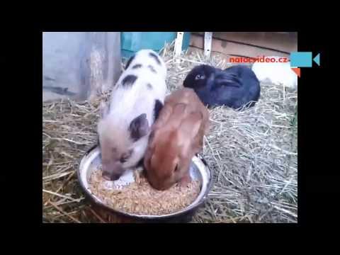 Prásátko Venca a králíci