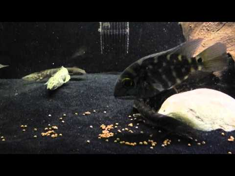 feeding time - Just feeding the 180 gallon some NLS Pellets. Black Arowana True Parrot Fish 2x Delhezi Bichir 2x Palmas Polli Bichir 2x Green Zaire Bichir 1x Lapradei Bichi...