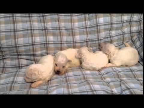 Bichon Frise Puppies - 2 males and 2 females