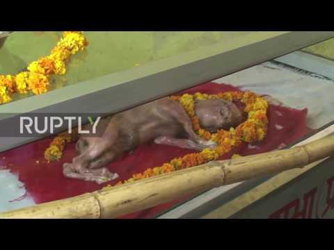 Becerro nació con rostro humano es venerado como la encarnación de un dios en la India