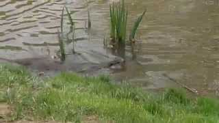 East Grinstead United Kingdom  city pictures gallery : Otters at British Wildlife Centre - East Grinstead, England 1 of 3