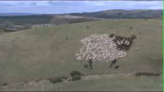 Extreme Sheep Herding – With Lights!