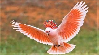 Video 10 Most Beautiful Cockatoo Species on Planet Earth MP3, 3GP, MP4, WEBM, AVI, FLV Juli 2019