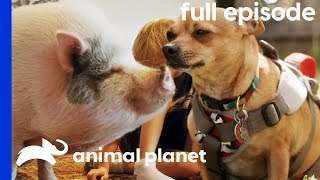 Pot-Bellied Pig Needs To Get In Shape! | My Big Fat Pet Makeover (Full Episode) by Animal Planet