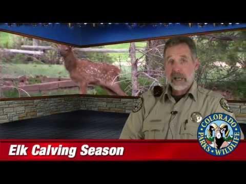 Elk Calving Season – SPECIAL REPORT