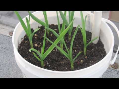 planting - Dave shows you how simple it is to grow garlic in containers.