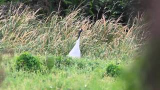 丹頂鶴 Red-crowned crane