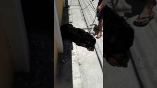 Rottweiler khủng ra đường đi dạo