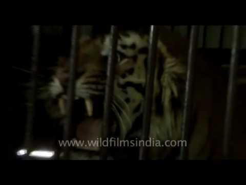 roar - Caged man-eater! Tiger growling inside cage, after having been captured for having killed a village woman who was cutting grass... This man-eating tiger was ...