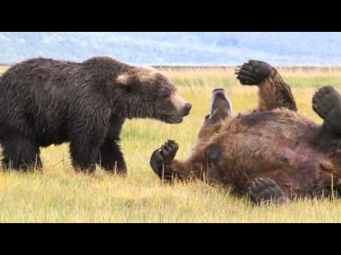 2 Large Brown Bears Playing