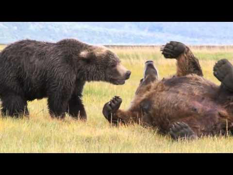 2 Large Brown Bears Playing