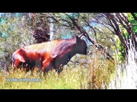 Hunting wild bull in New Zealand part 1(bow hunting)
