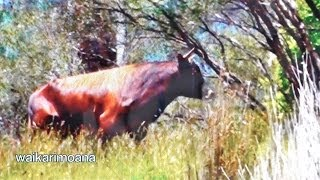 Video Hunting wild bull in New Zealand part 1(bow hunting) MP3, 3GP, MP4, WEBM, AVI, FLV Mei 2017