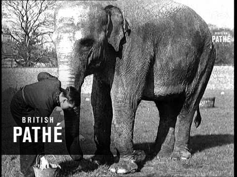 Spring Cleaning Elephants At Liverpool Zoo (1938)