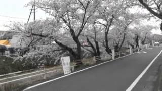 羽黒五条川サクラ満開・見どころ3未来園